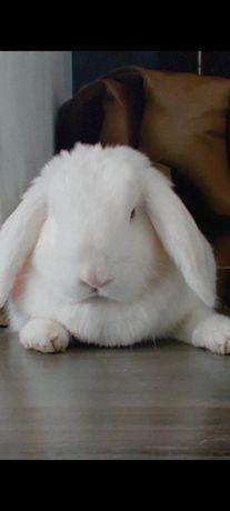 Продам декоративный кролик