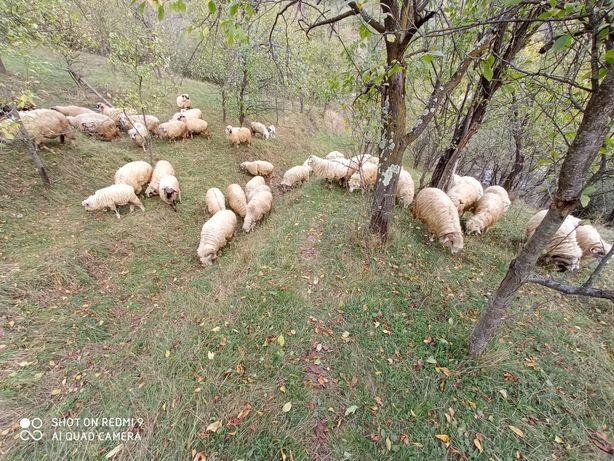 Vând oi bune de ținut