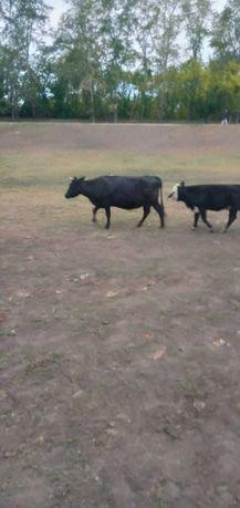 Продам  коров стельных по договорной цене