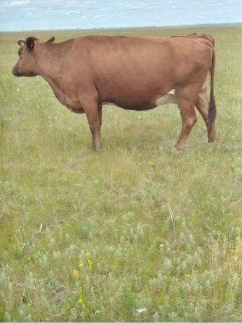 Продам корову с теленком(2 мес)