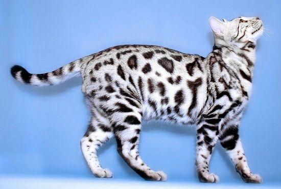 Бенгальские котята разных окрасов готовы к продаже
