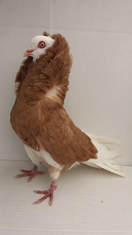 Porumbei capucino
