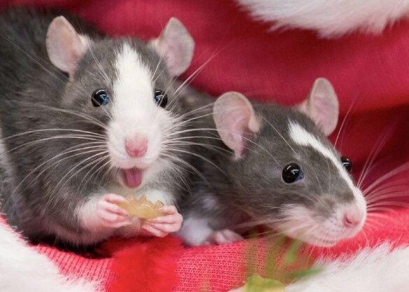Декоративные породистые крысы