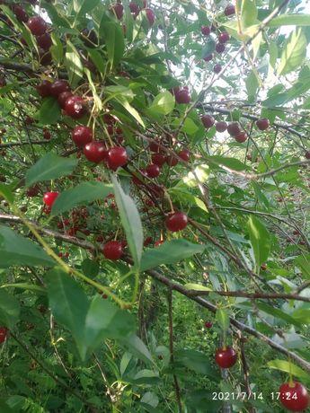 Самосбор вишня яблочки колбочки и мед из медог