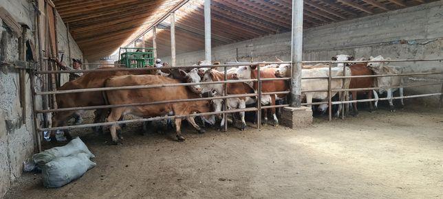 Сиыр. КРС. Коровы.