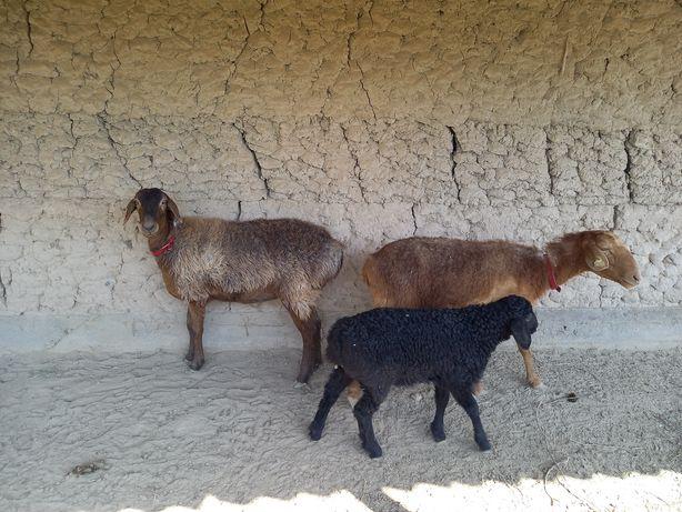 Овцы и овечки (қойлар мен лақтар)
