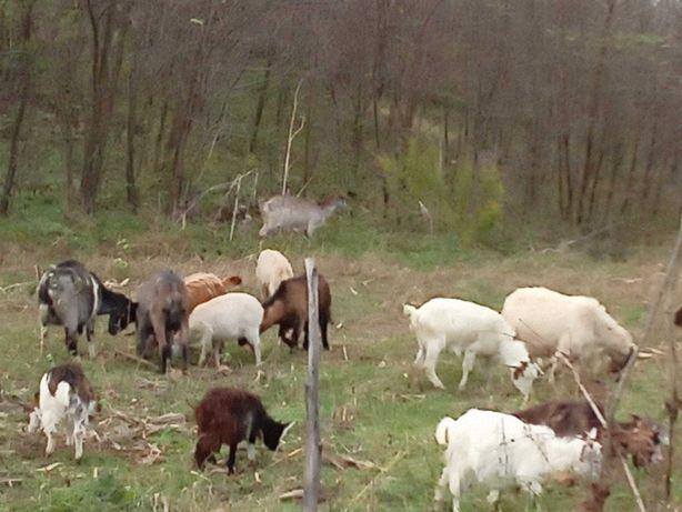 Vând 6 capre cu lapte