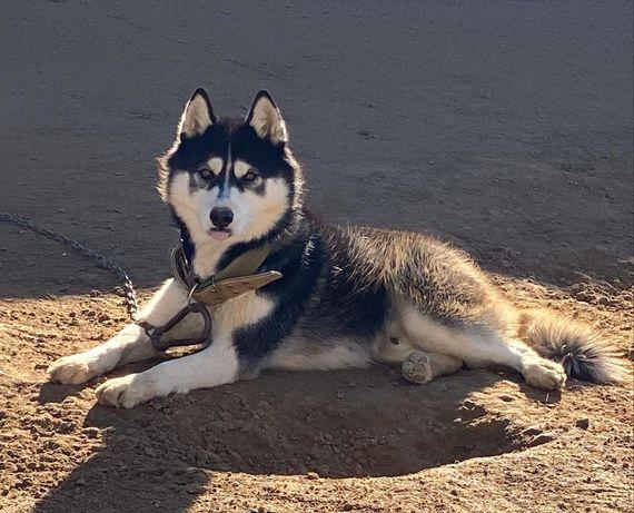 Сибирская хаски вязка, случка