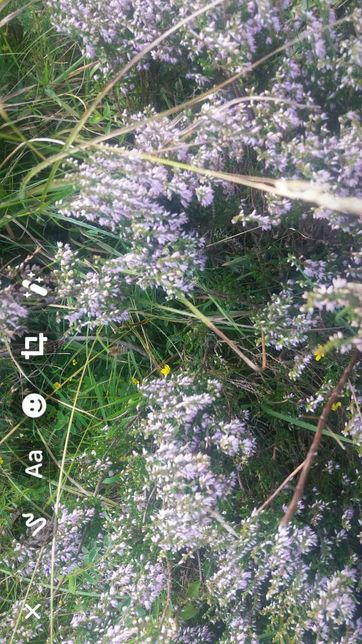 Miere de albine - iarba  neagra
