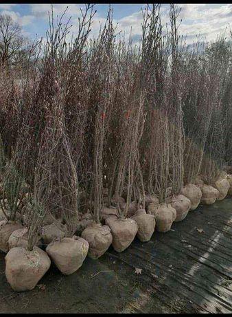 Plante ornamentale de grădină magnoli