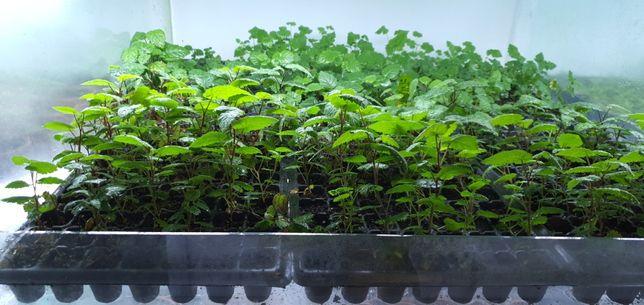 Plante libere de boli si virusi