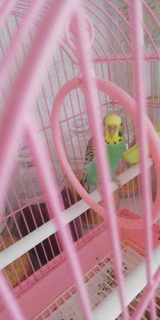 Продам попугая девочку. Попугай+клетка. Не дорого. Торг уместен.
