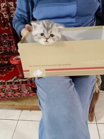 Продам котенка девочка породы британец