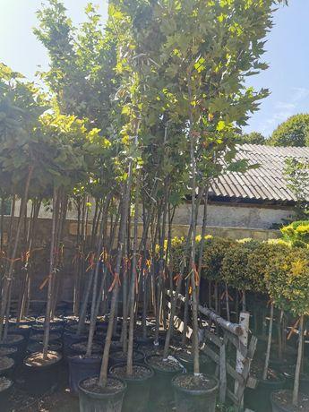 Vând platan acerifolia 5m