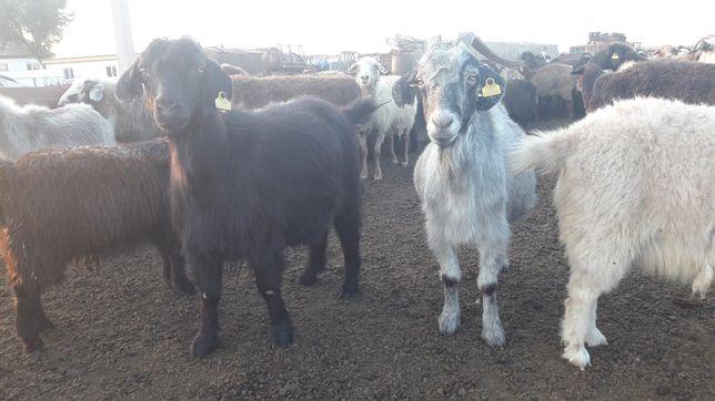 Коза . Молодые козы