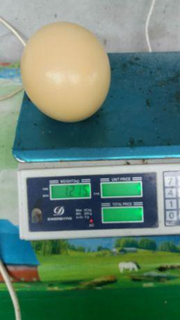Vând ouă de strut