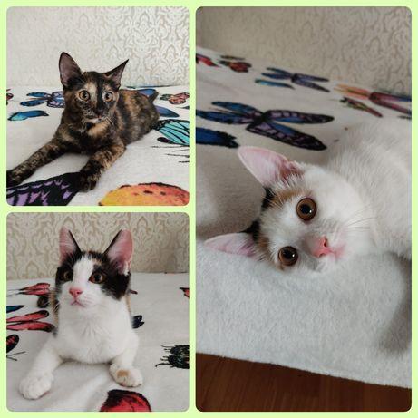 Котята 5 мес, стерилизованные трехцветные девочки. Кошка кот котенок