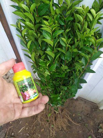 Lemn cainesc ( Ligustrum Ovalifolium ) gard viu vesnic verde