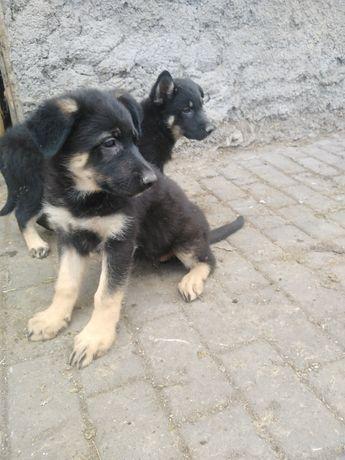 Восточно-европейские овчарки(щенки)
