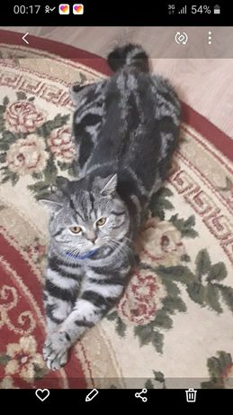 Вязка ,кот шотландец