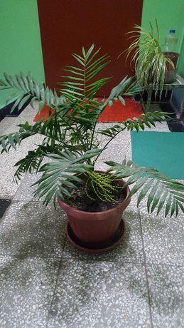 Финикови палми 5 годишни