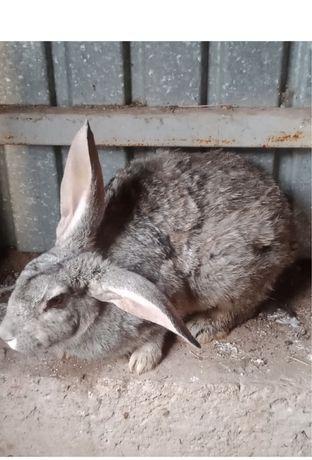 Продам домашних кроликов. Недорого.