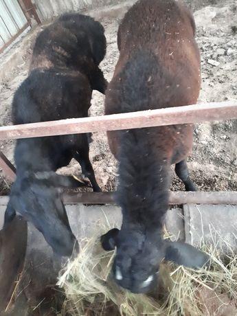2 бас қошқар кой қой баран токтылал козы бык бука кочкар