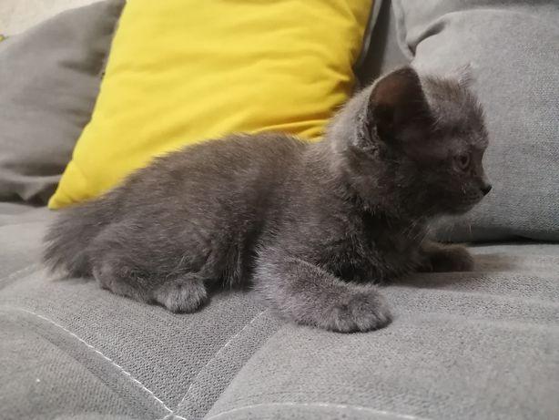 Котёнок мальчик полу британец в добрые руки