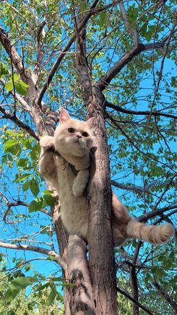 Британский кот вязка
