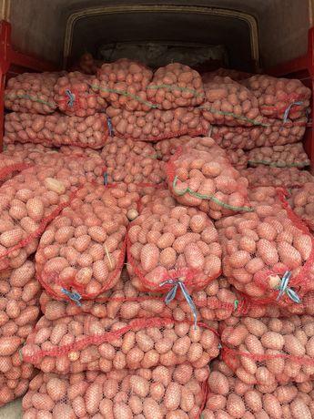 Cartofi consum belaroza
