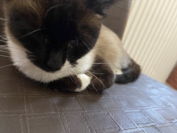 Pisica siameza (1 an si 2 luni)