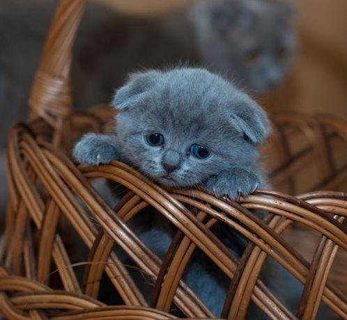 Сладкий мальчик вислоухий голубой- капец какой красивый