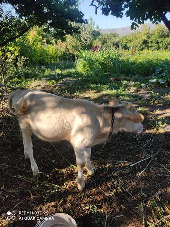 Продается корова и бычок трёх месяцев