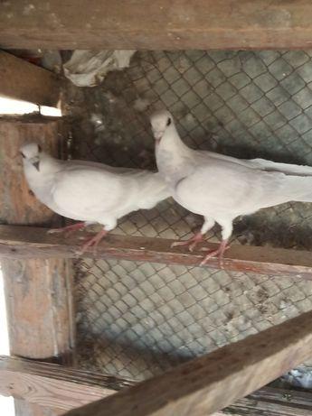 Голуби Животные птицы