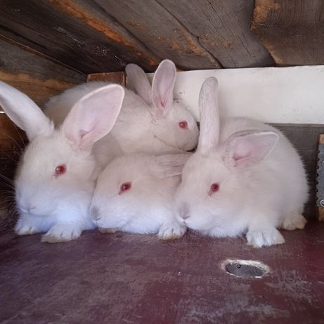 Продаю трехмесячных кроликов