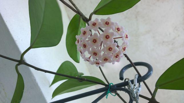 Lacrima Maicii Domnului sau floarea de portelan / ceara, Hoya carnosa