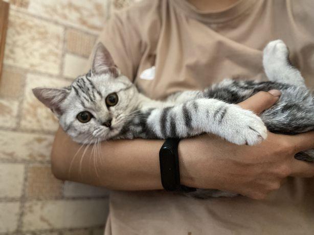 Продаю шотландскую кошку в хорошие руки
