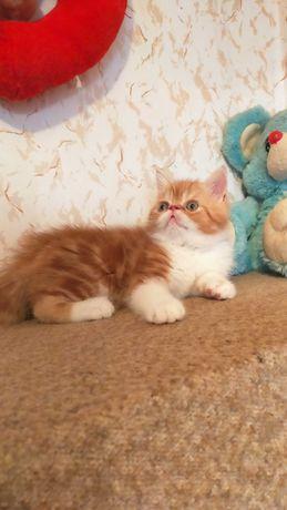 Котенок экзот мальчик