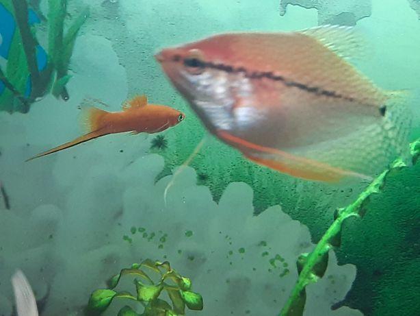 Жемчужиная гурами в продаже также и другие виды рыб .