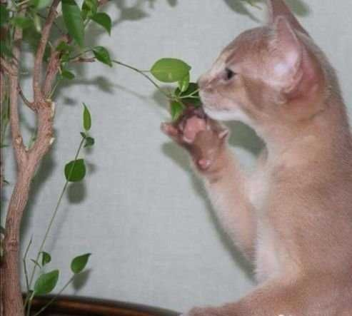 Абиссинский котик фавн