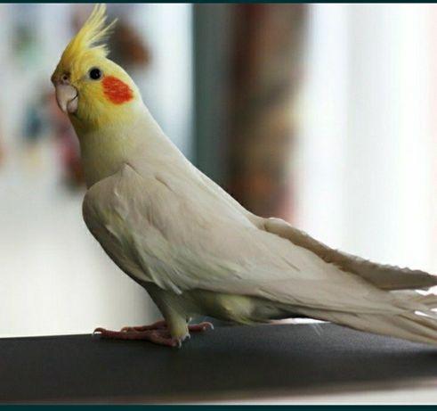 Принимаю дар попугаев Корелы волнистых и т.д