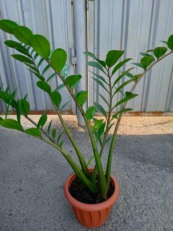 Продам замиокулькас( долларовое дерево