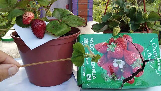 Легко и просто Набор для выращивания клубники