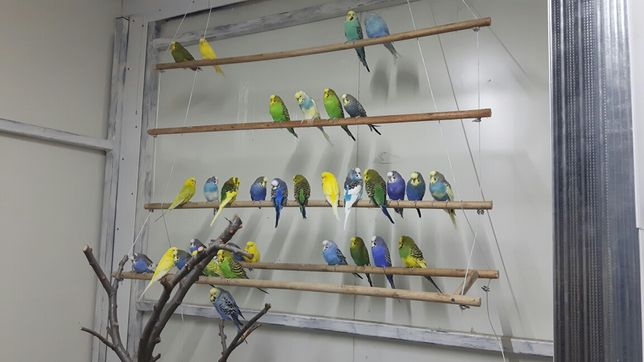 Pereche papagali perusi. Cu colivie și mâncare