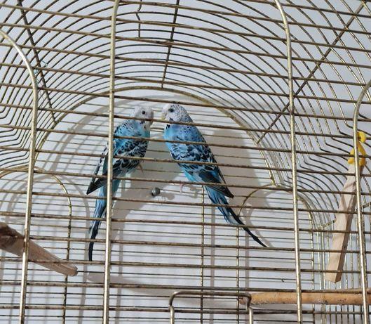 Продам попугайчиков