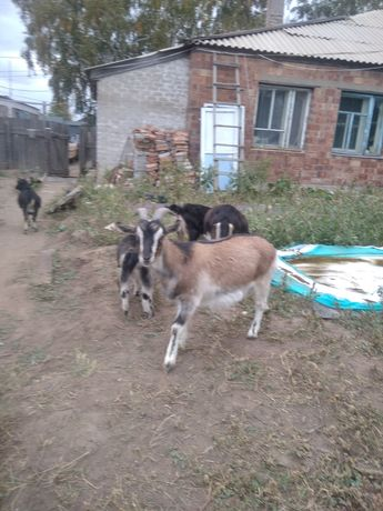 Продам срочно! доильные коз торг!