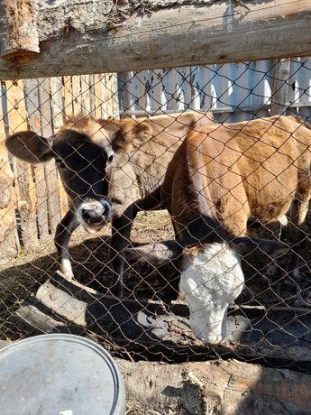 Продаю 1 бычка и 1 телечку, возраст 5 месяцев.