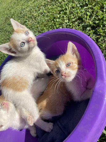 Adoptie pui pisica