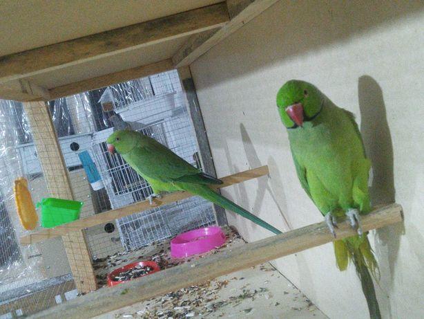 Ожреллавый папугай