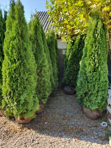Poze reale ! Tuia smarald, columnaris, gard viu vesnic verde.
